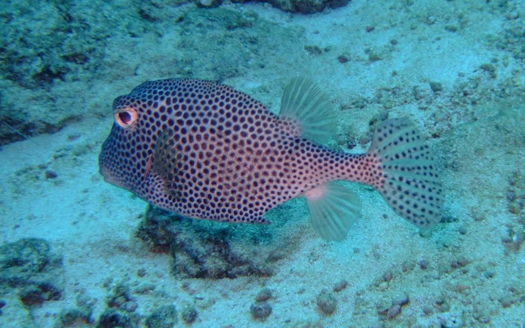 Image of Spotted Boxfish