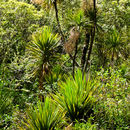Image of cabbage tree