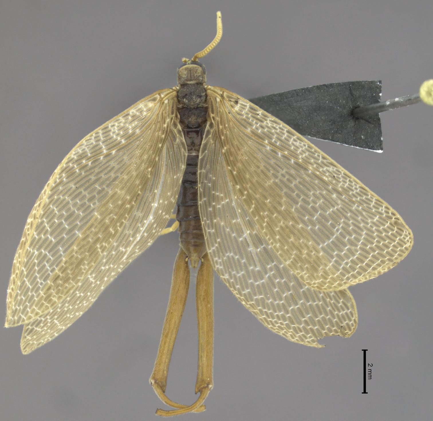Image of <i>Austromerope brasiliensis</i> Machado, Kawada & Rafael 2013