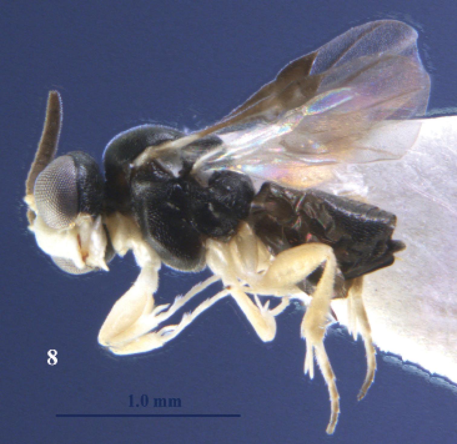 Image of <i>Kollasmosoma sentum</i>