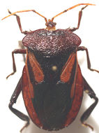 Image of <i>Oncomeris flavicornis</i> (Guerin-Meneville 1831)