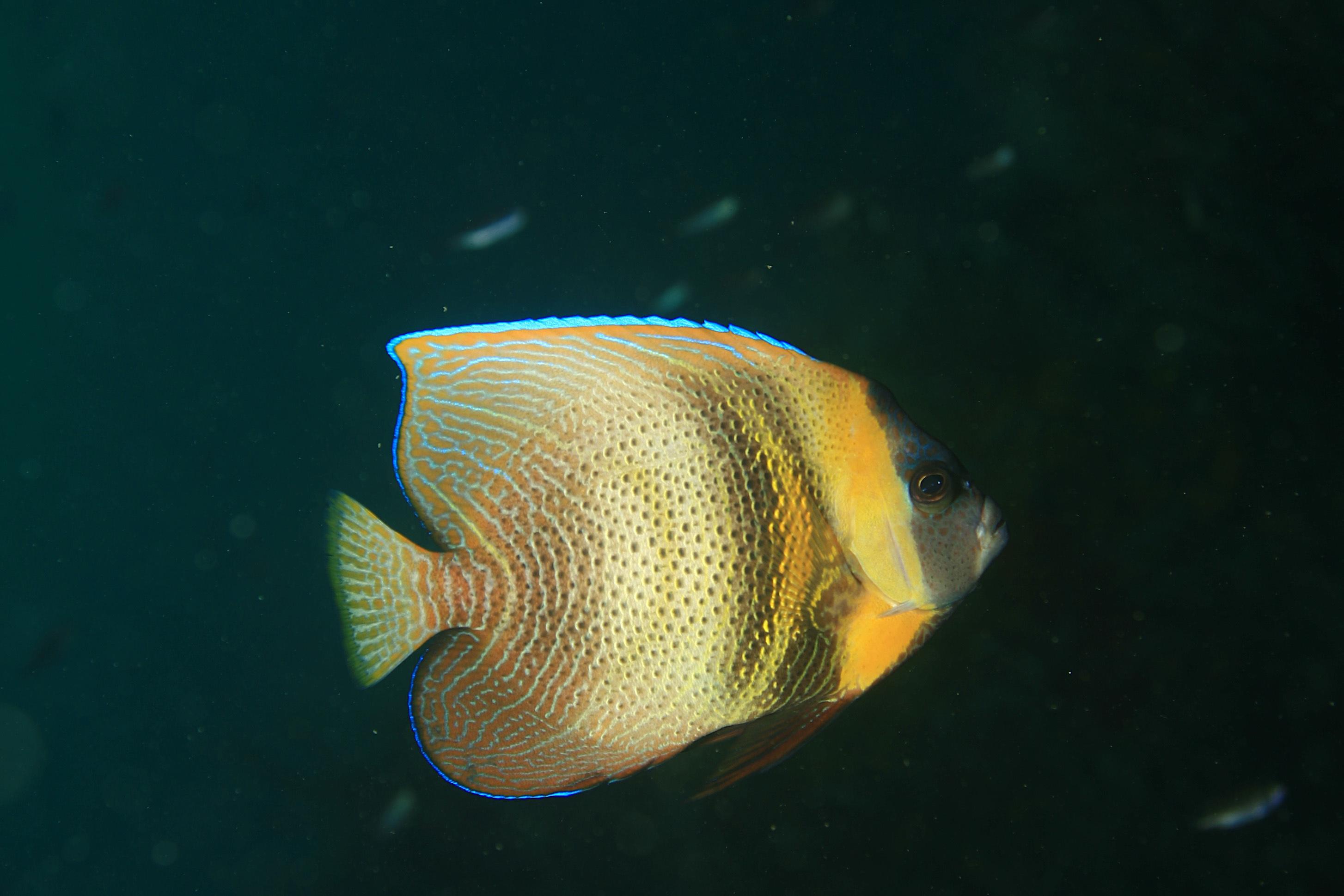 Image of Cortez Angelfish