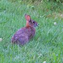 Image of New England cottontail rabbit