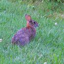 صورة أرنب إنجلترا الجديدة