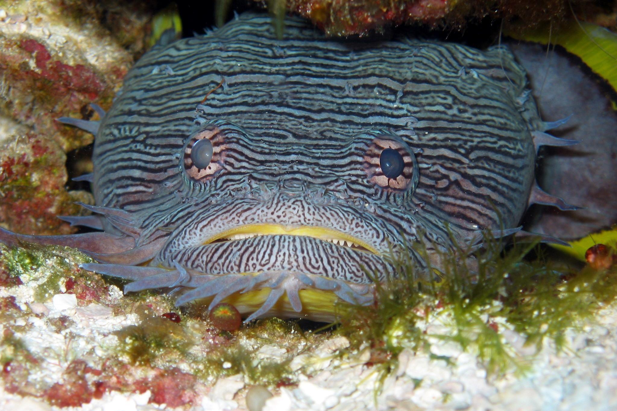 Image of Splendid Toadfish