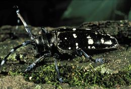 Image of Asian Longhorned Beetle - COLLECT THIS