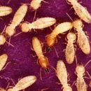 Image of Formosan subterranean termite