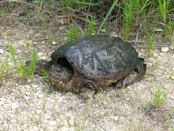 Image of Common Snapping Turtle