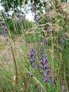 Image of lavender