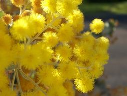 Image of Golden Wattle