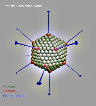 Image of Adenoviridae