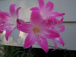 Image of <i>Amaryllis belladonna</i> L.