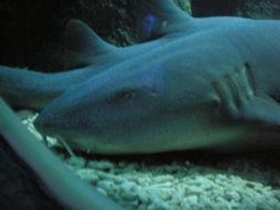 Image of nurse sharks