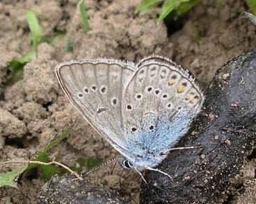 Image of <i>Polyommatus amandus</i>