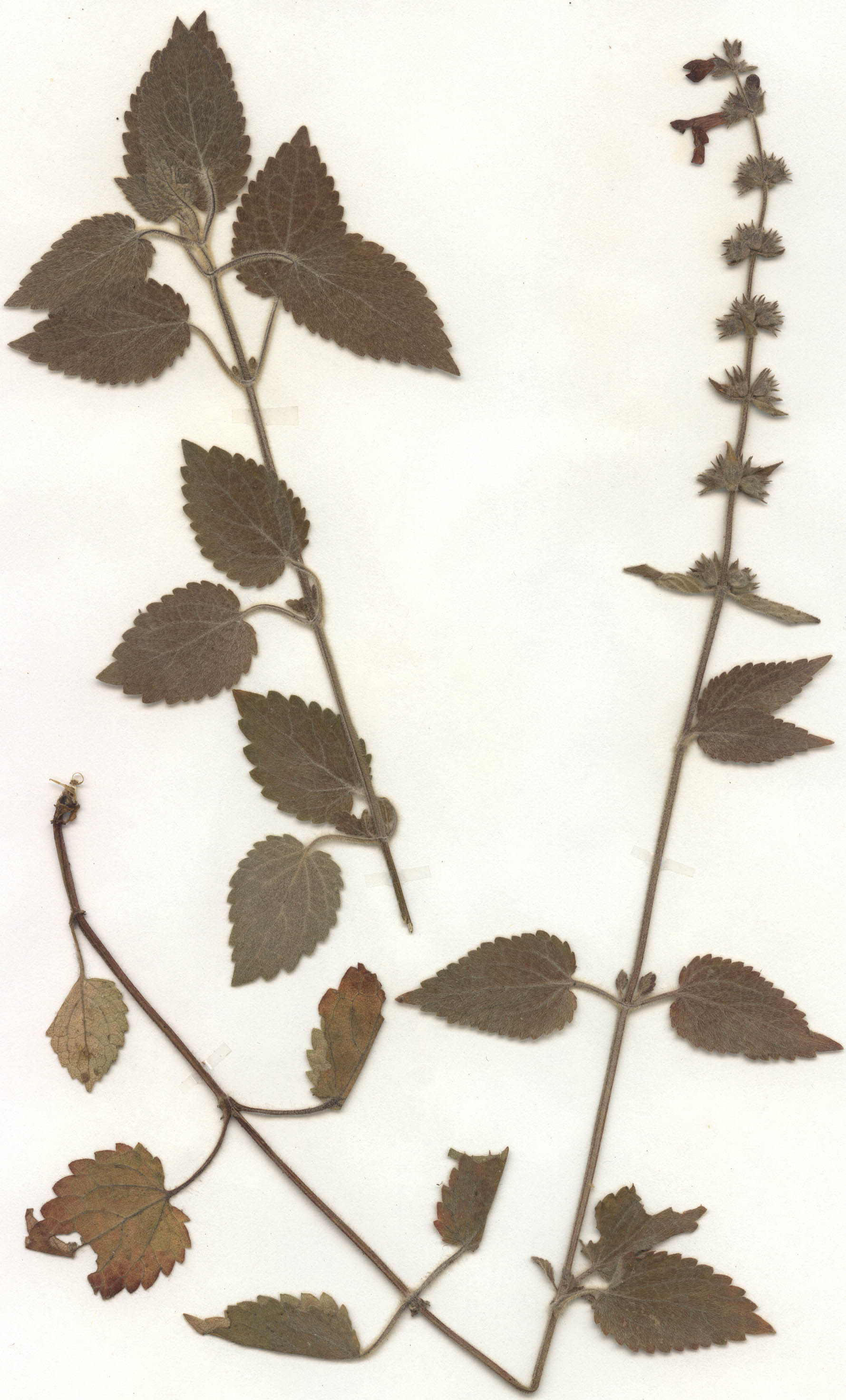 Image of Hedge Woundwort