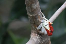 Image of Mangrove Tree Crab