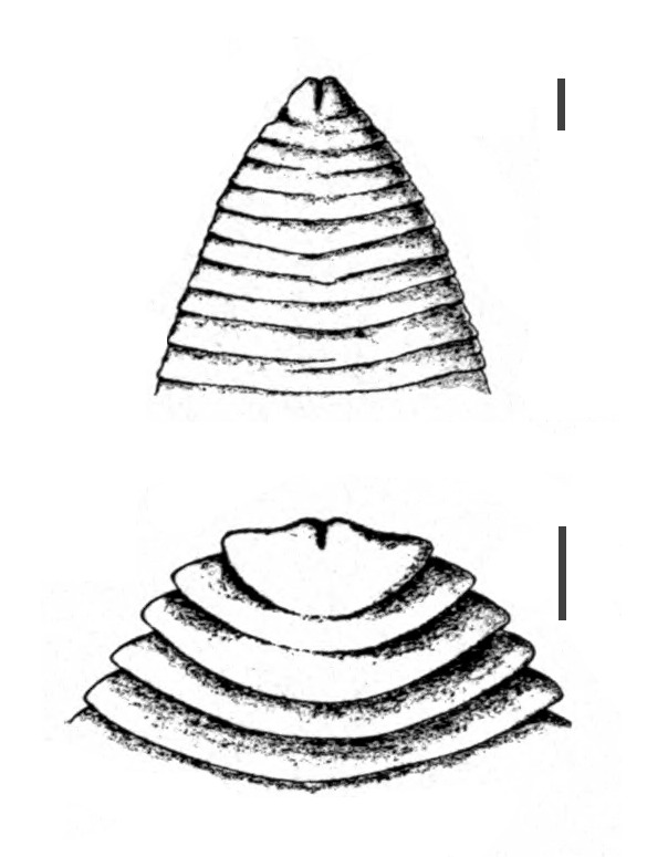 Image of <i>Ligula intestinalis</i> (Linnaeus 1758) Gmelin 1790