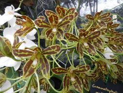 Image of <i>Grammatophyllum multiflorum</i> Lindl.
