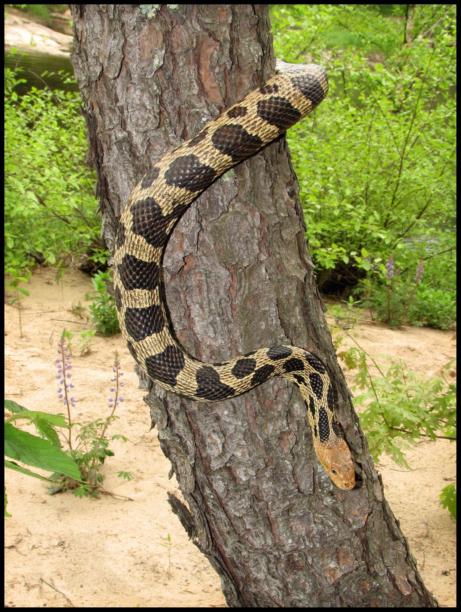 Image of Eastern Fox Snake