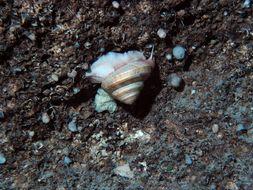 Image of <i>Bayerotrochus midas</i> (Bayer 1965)