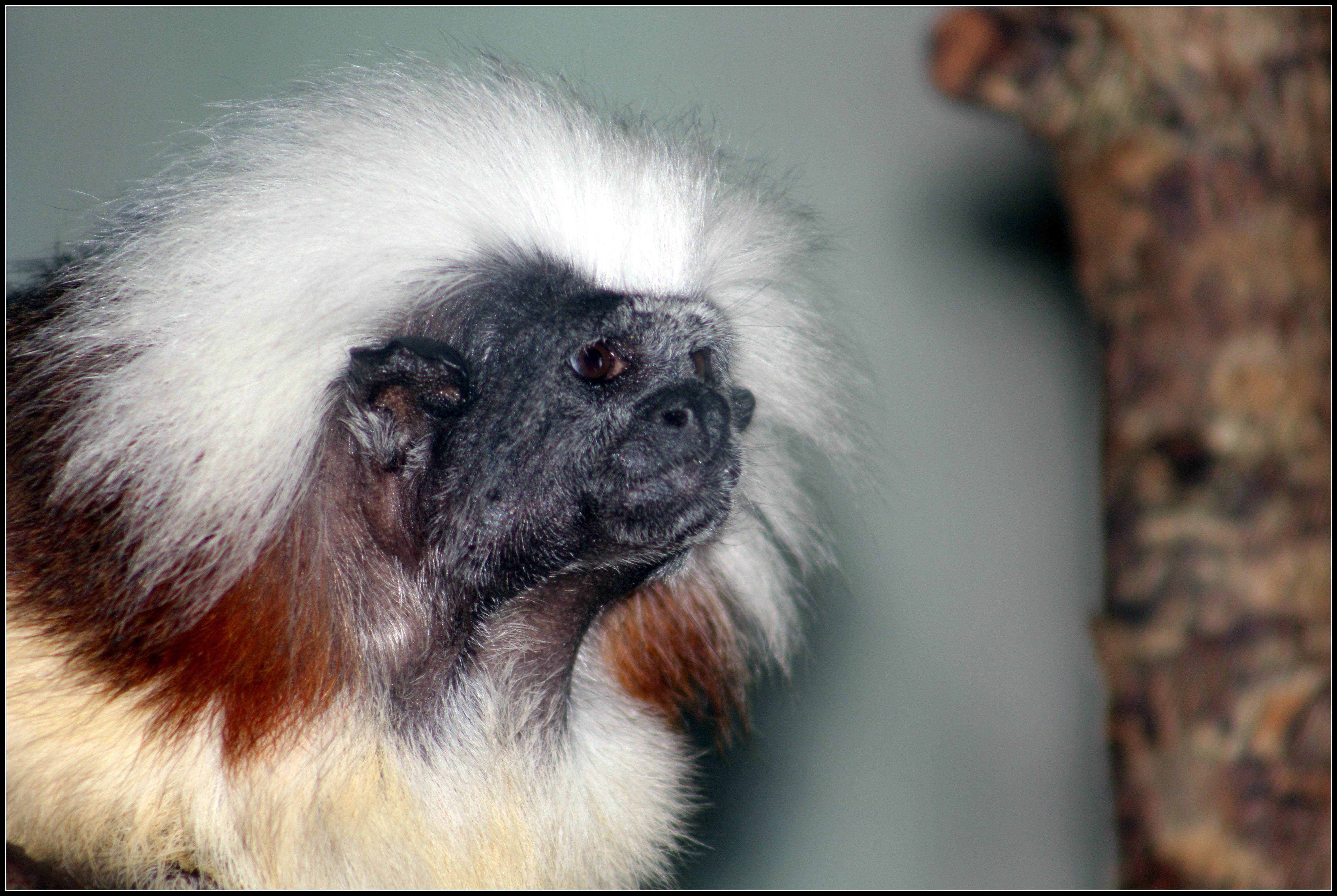 Image of cotton-top tamarin