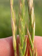 Image of quackgrass