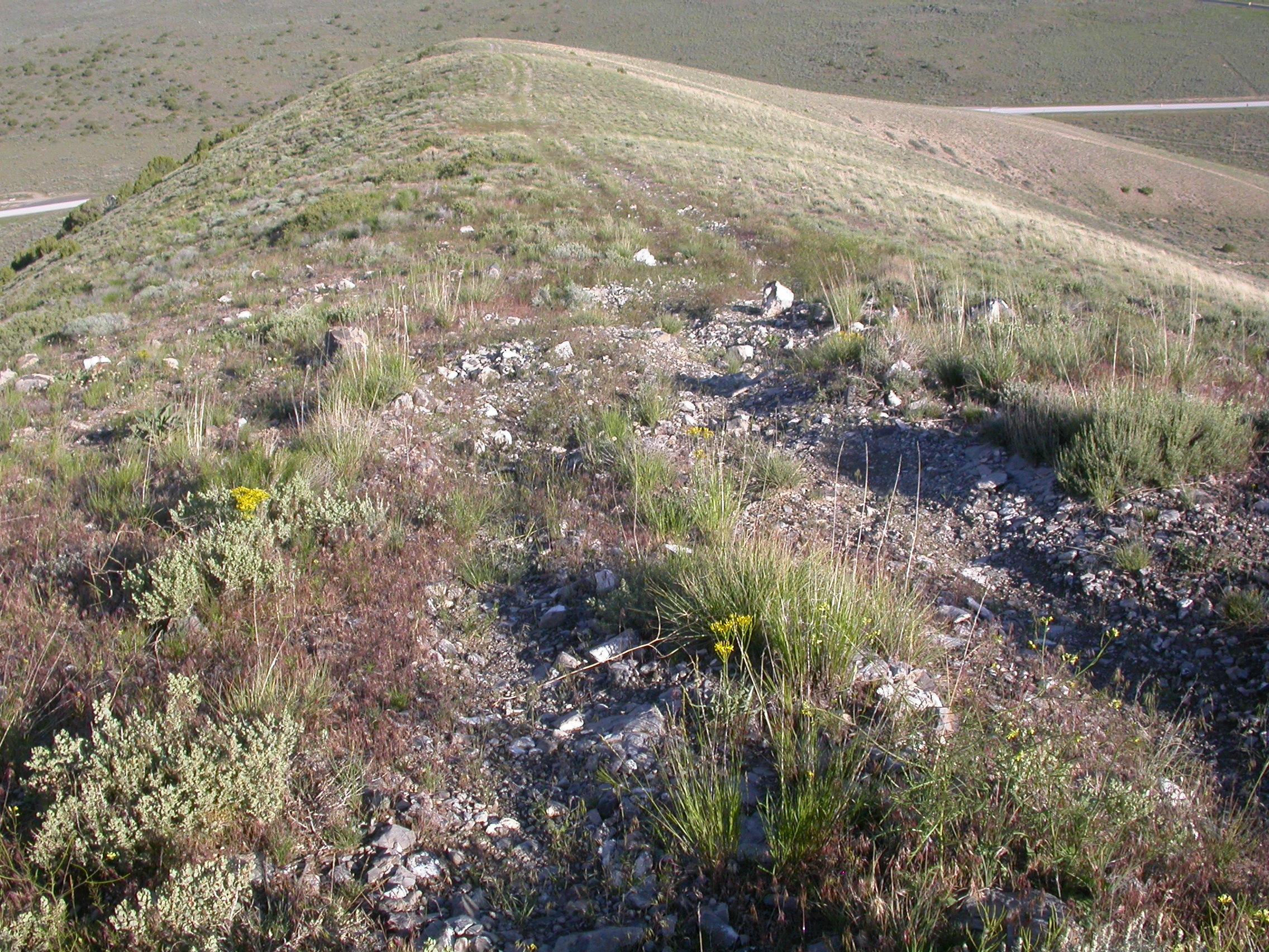 Image of Colorado wildrye