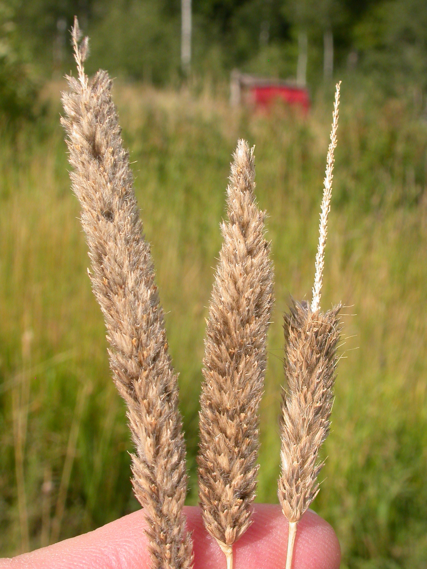 Image of meadow foxtail