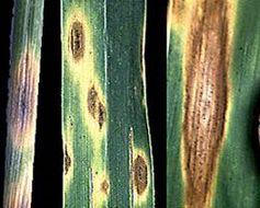 Image of <i>Phaeosphaeria nodorum</i> (E. Müll.) Hedjar. 1969