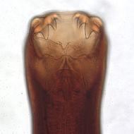Image of dog hookworm
