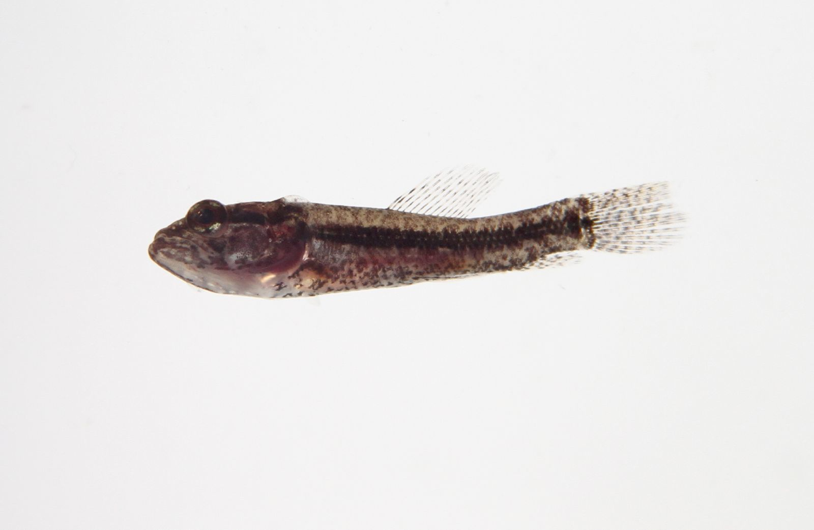 Image of tigerfish