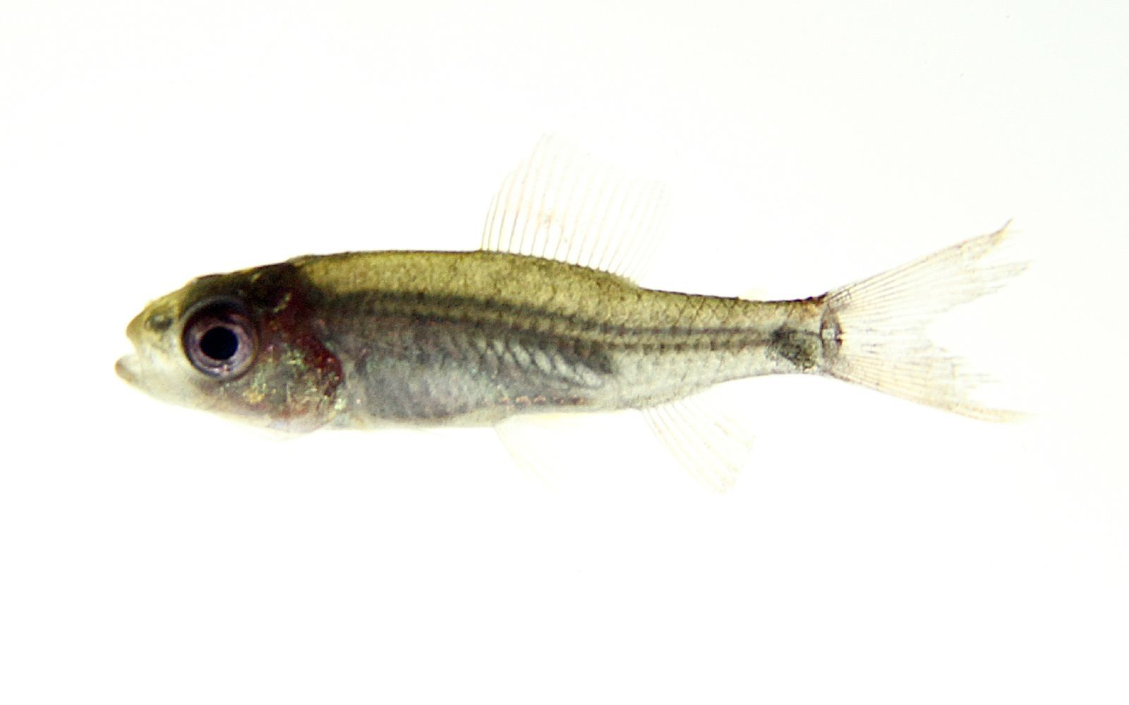 Image of South American darters