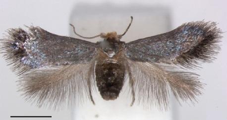 Image of Pectinivalva quintiniae
