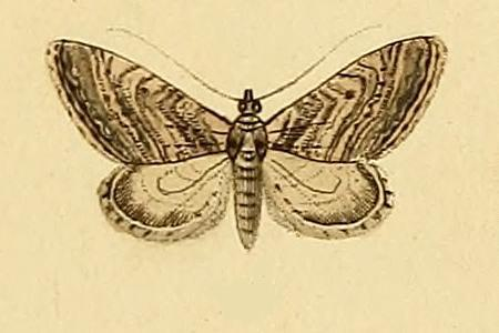 Image of <i>Eupithecia scopariata</i> Rambur 1833