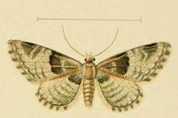 Image of <i>Eupithecia stertzi</i> Rebel 1911