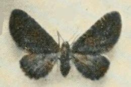 Image of <i>Eupithecia thalictrata</i> Püngeler 1902