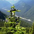Image of Cascade Fir