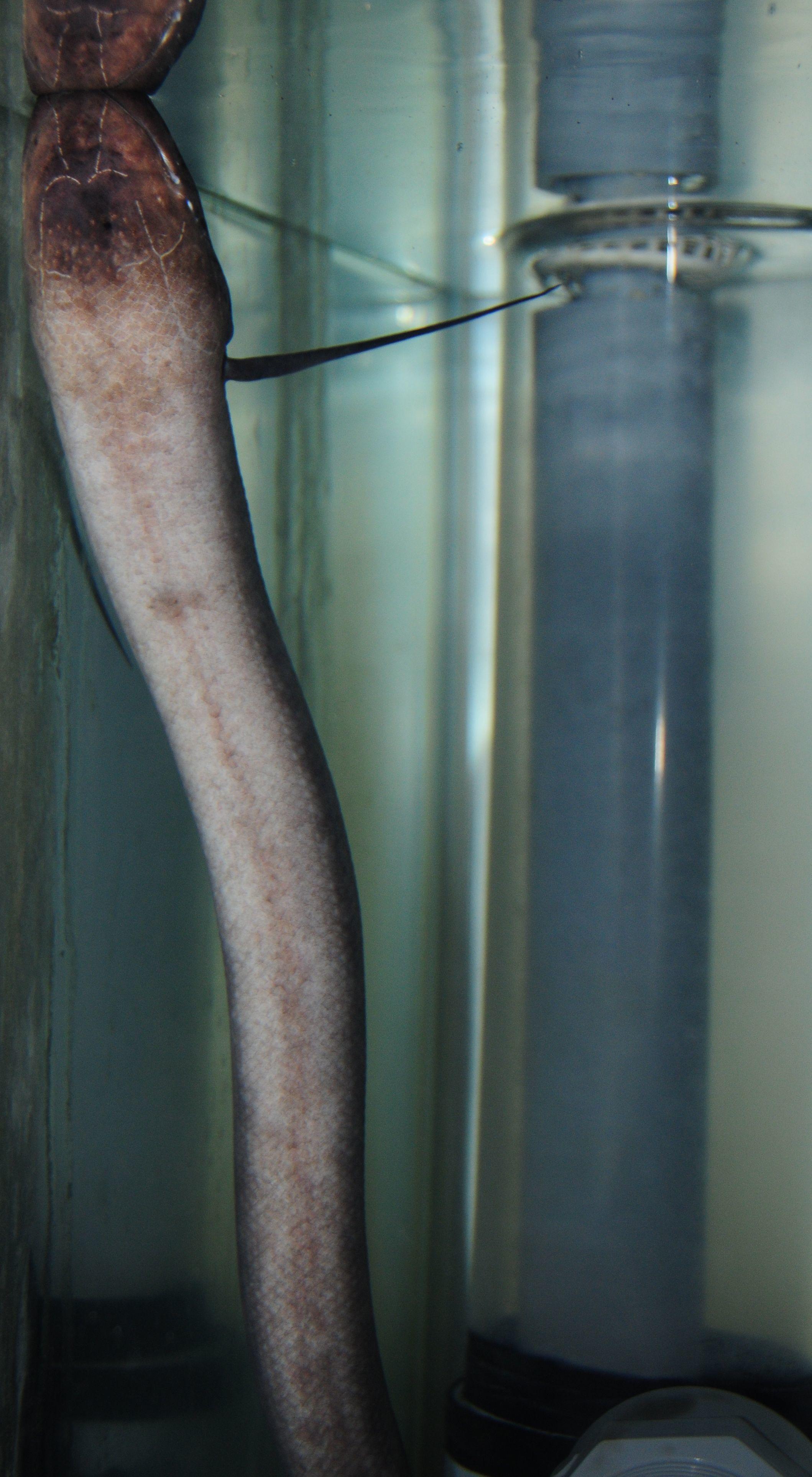 Image of Slender lungfish
