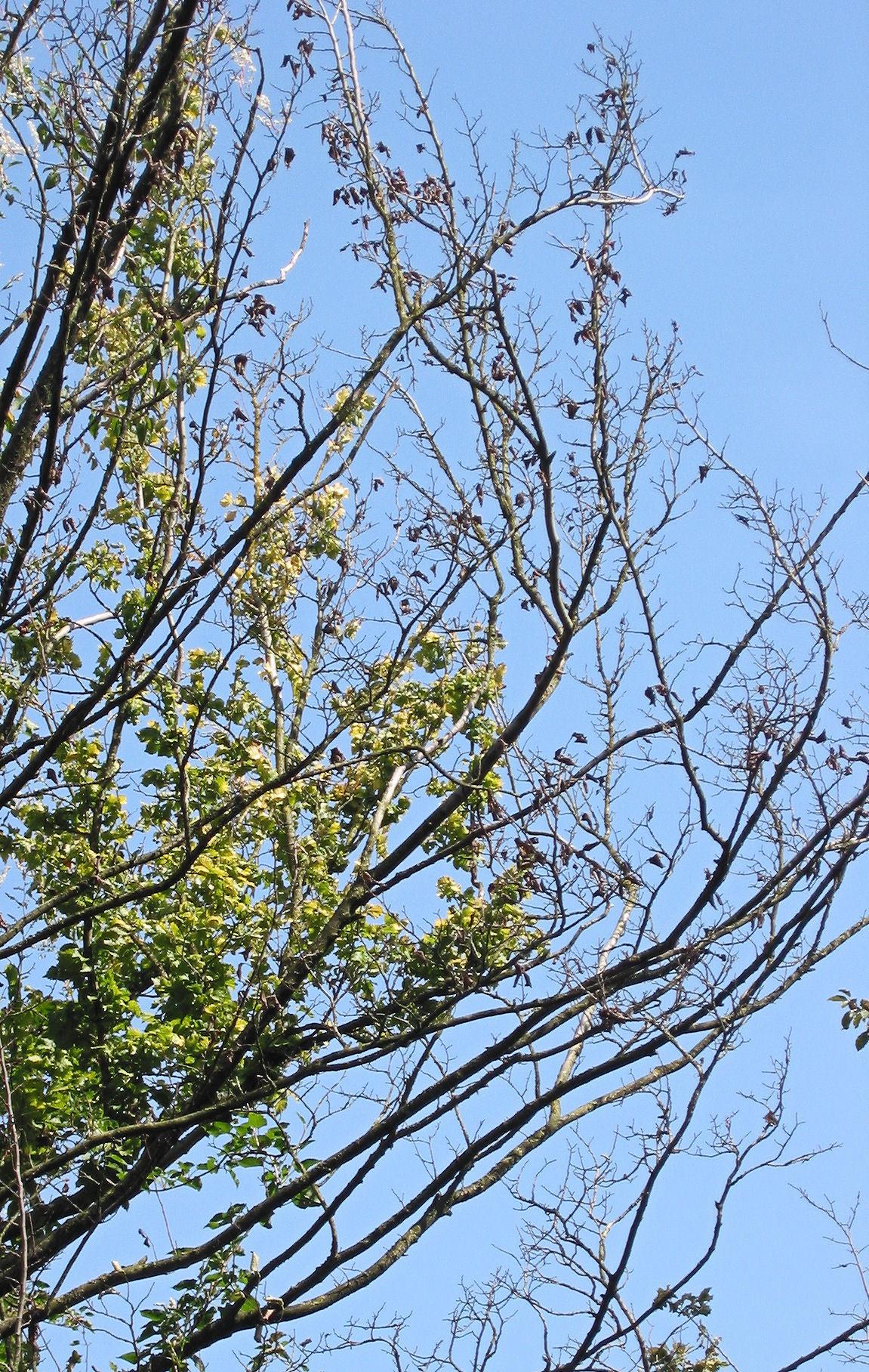 Image of Dutch elm disease