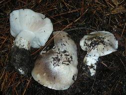 Image of <i>Tricholoma vernaticum</i> Shanks 1996