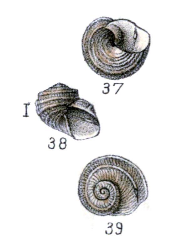 Image of Sukashitrochus