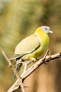 Image of Yellow-footed green pigeon