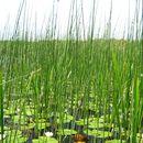 Image of lakeshore bulrush