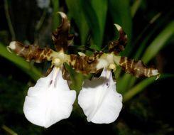 Image of <i>Miltonia cuneata</i> Lindl.
