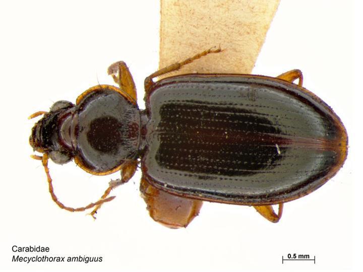 Image of <i>Mecyclothorax ambiguus</i> (Erichson 1842)
