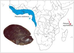 """<span class=""""translation_missing"""" title=""""translation missing: en.medium.untitled.map_image_of, page_name: West African mud turtle"""">Map Image Of</span>"""