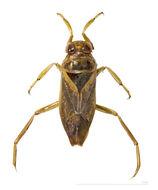 Image of Notonecta maculata