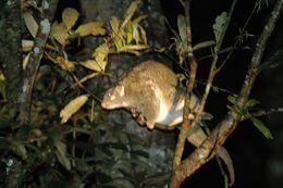Image of Green Ringtail Possum