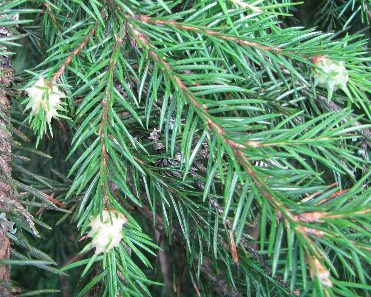 Image of Eastern Spruce Gall Adelgid