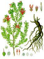 Image of <i>Krameria lappacea</i> (Dombey) H. M. Burdet & B. B. Simpson